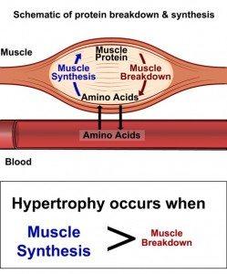 Proteinsyntes för muskler, muskelproteinsyntes, muskler proteinsyntes, deffa proteinsyntes, proteinsyntes gå ner i vikt, proteinsyntes under deff, proteinsyntes deff, öka proteinsyntesen, minska proteinsyntesen, träning under deff